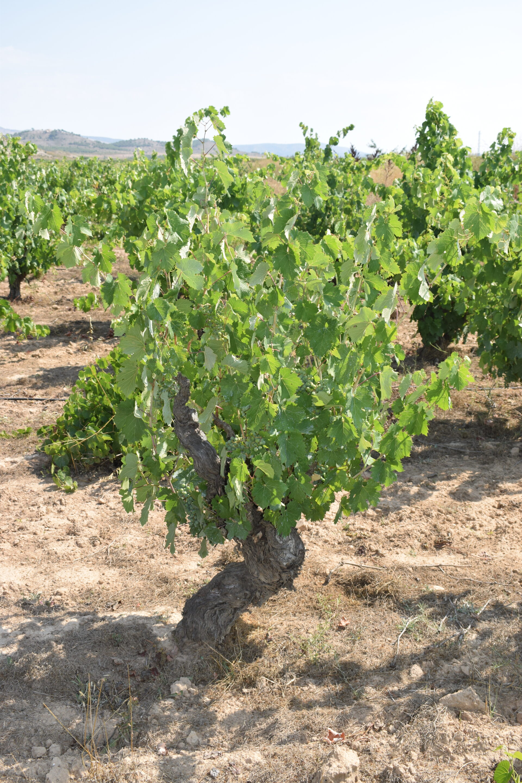 VINS DE LA MEDITERRÀNIA. vinos utópicos